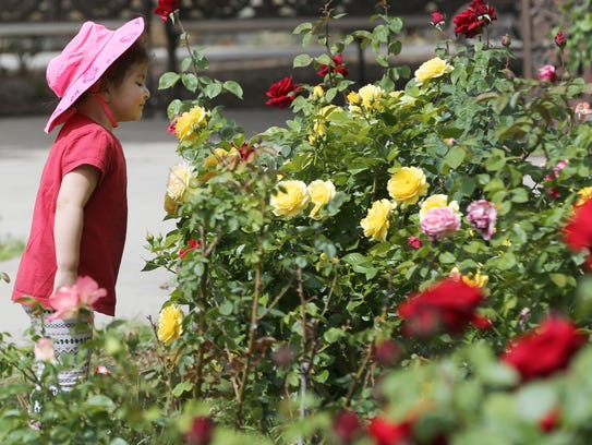 Rebeca Lopez 3, got a close-up look at a rose last year at the Municipal Rose Garden. The rose garden opens for a tour April 14.