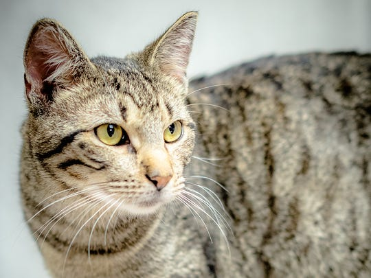 Cali - Male (neutered) domestic shorthair, about 2