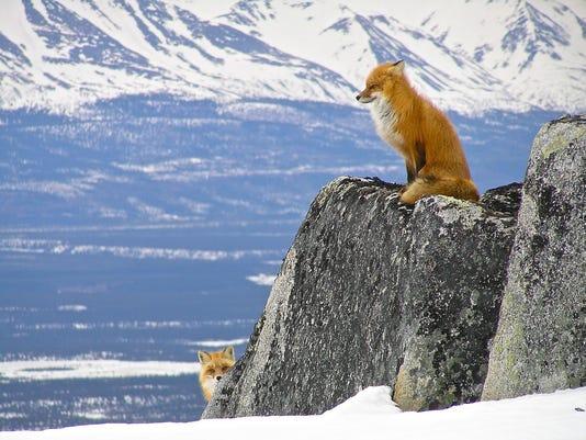 636171568548486272-Lake-Clark-NP-foxes-NPS.jpg