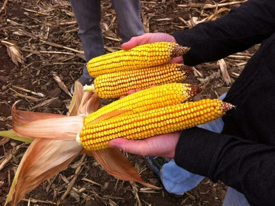 Ears of the Minnesota 13 variety of corn, which is used to make moonshine.