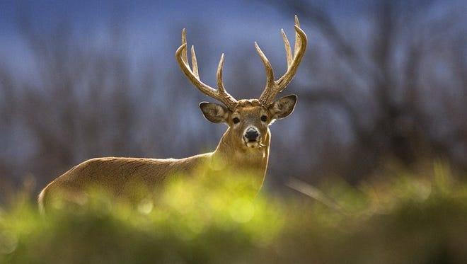 Deer in field.