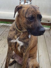 Murphy is a young, neutered male hound. He is fully