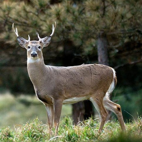 Group seeks antler point restrictions on deer in the Thumb