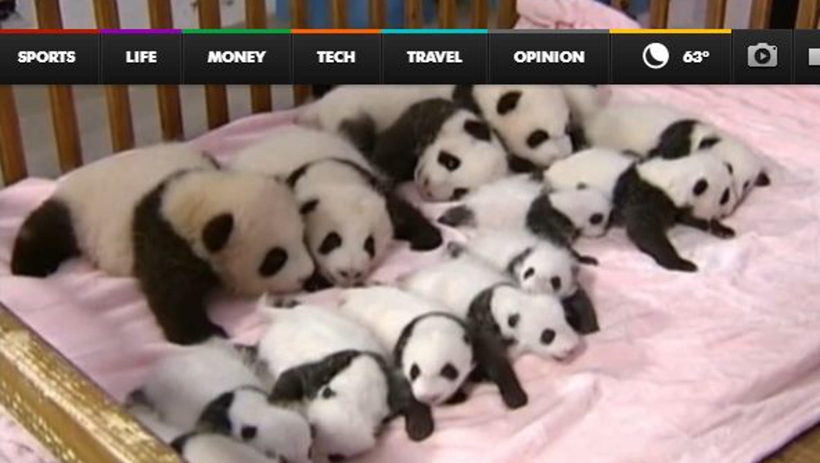 Watch: 14 baby pandas cuddle in one crib