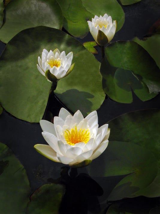 636205162199978265-3-Water-Lilies.jpg