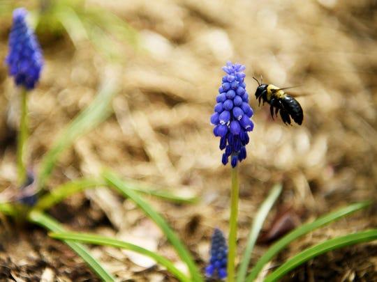 A bee buzzes around blooms at the North Carolina Arboretum