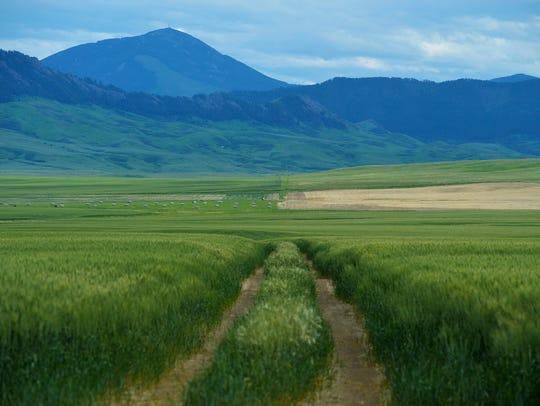 Green fields meet the Highwood Mountains, Wednesday,
