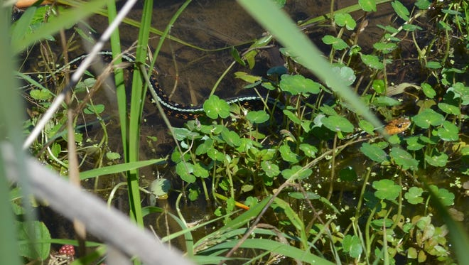 Even a garter snake can make the hairs stand up on the back of your head, until you recognize what it is.