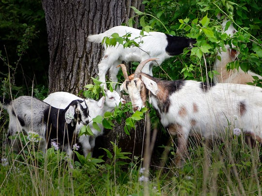 A herd of goats has been brought in to eat non-native