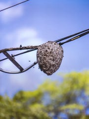A hornet nest dangles from utility wires.