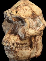 The Little Foot skull (StW 573).JPG