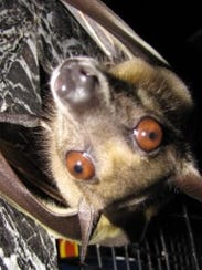Warm weather could bring bats out of hibernation early