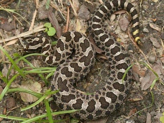 Snake Bite In Botanical Gardens Rattles Nerves