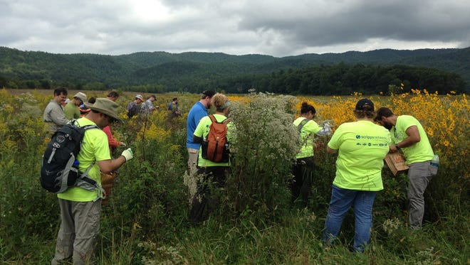 Depending on conditions and the jobs they're working on, volunteers in the Great Smoky Mountains National Park may be issued, T-shirts, button-down shirts or bright-colored vests. In this file photo, volunteers collect seeds in Cades Cove in the park.