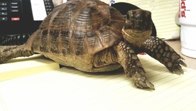 A tortoise found in downtown Hartland was adopted.