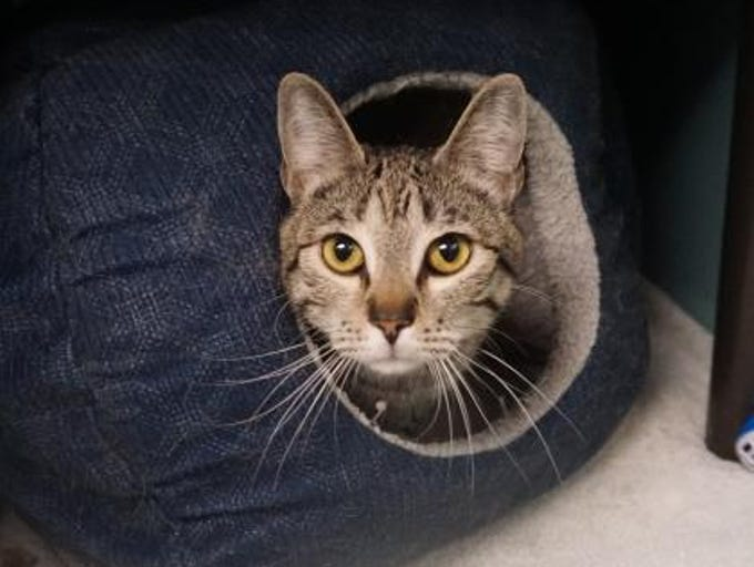 Luna is a playful 1-year-old tabby cat looking for