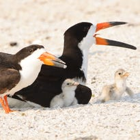 Predator controls effective during nesting season on Marco Island