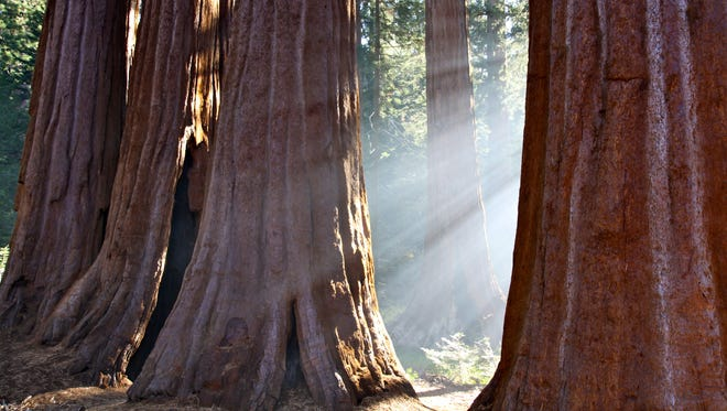 Sunlight streams through a grove of giant sequoias at Sequoia National Park in California. These massive trees are only found on the western slopes of the Sierra Nevada and can live for 3,000 years. Their impressive size and unique beauty never fail to amaze.