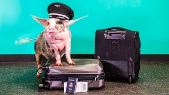 LiLou the pig is the newest member of San Francisco International Airport's Wag Brigade.