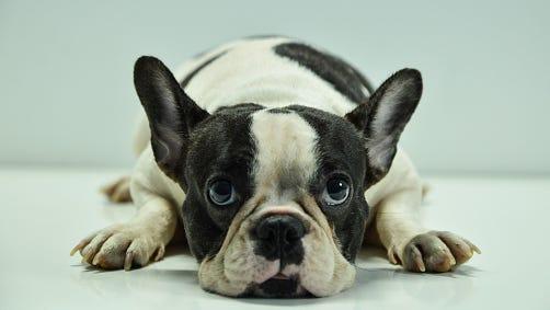 Staring French Bulldog