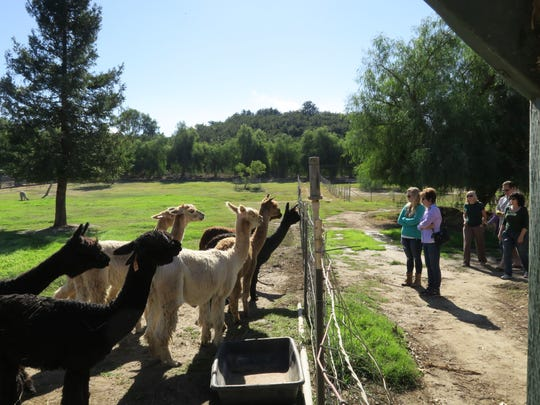 Curious alpacas cluster to take a peek at human visitors at Alpacas at Windy Hill during Farm Day in 2017.