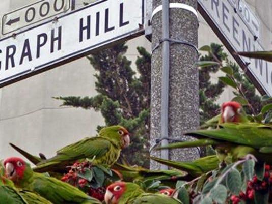 Wild Parrots Telegraph Hill art