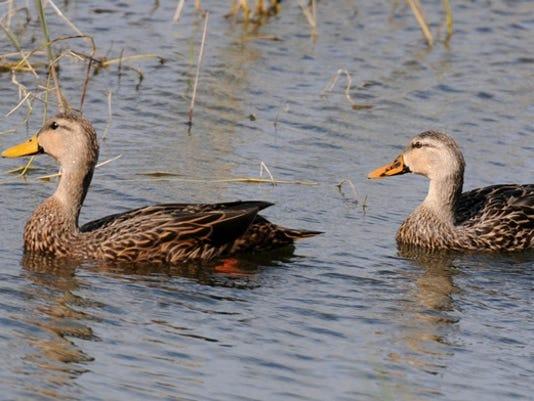 635913925613811519-Mottled-Ducks-2.jpg