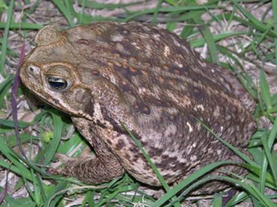A cane toad (Bufo marinus), also known as a cane toad.