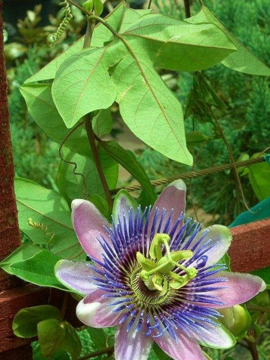 636469621357581304-Passiflora-Dec-3--yard-doc.JPG