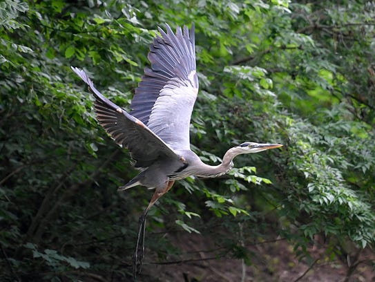 A blue heron flies along the banks of the Harpeth River