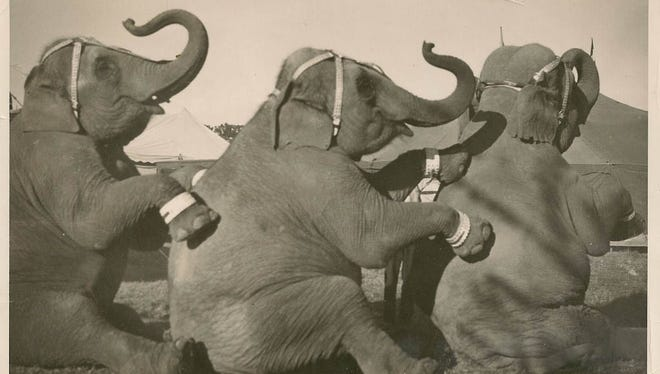 Three gray Indian elephants, Judy, Empress and Modoc (Not necessarily in this order)