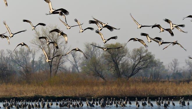 On their way to Canada in spring, hundreds of thousands of sandhill cranes stop at Nebraska's Platte River Valley.