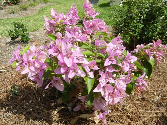 Bougainvillea Silhouette is a compact cultivar that will continue to bloom during the summer.