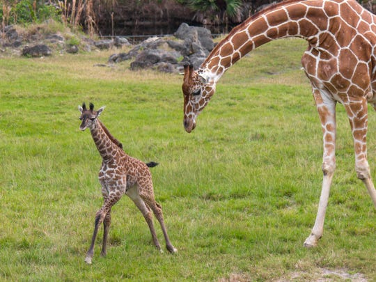A baby giraffe with its mother at Brevard Zoo