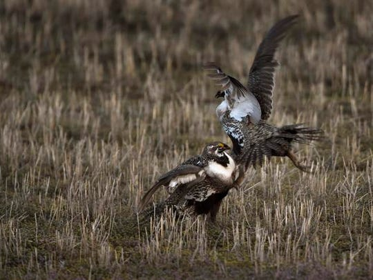 Greater Sage Grouse jockey for position along with