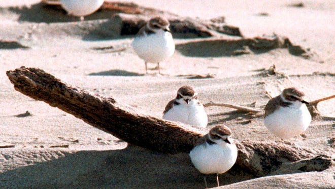 In this undated photo, snowy plovers cluster on the Oregon coast beach near Coos Bay. Snowy plover nests have been spotted at Clatsop Spit on the northern Oregon coast for the first time in decades. Reports on the sighting of the nests comes three years after Fort Steven State Park designated a half-mile portion of the beach as a special management area for the bird species