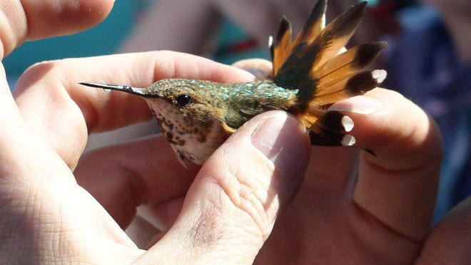 Hummingbirds receive an identification band that shows species, age and sex.