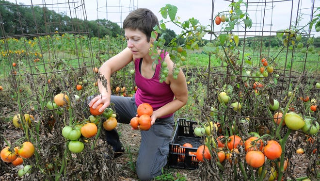Production manager Kate Ritger picks tomatoes Thursday at Common Ground Garden in St. Joseph .