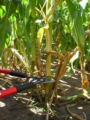Cut stalk about 6 inches above the soil.