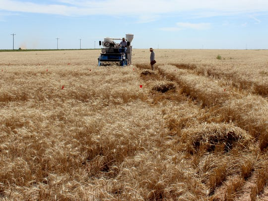 A winter wheat variety trial is harvested with a small plot combine at the New Mexico State University Agricultural Science Center at Clovis. The science center will host its annual field day Aug. 3, 2016.