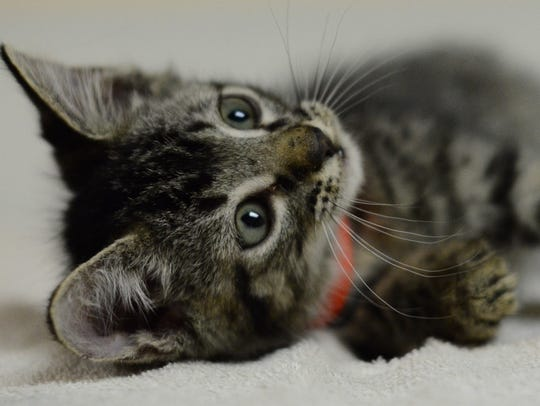 Binx - Male domestic short hair, about 2 months. Intake