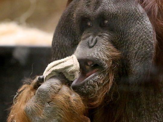 Tommy, a hybrid of Bornean and Sumatran orangutan,