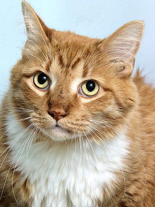 636123382170956509-HAWS-pet-of-the-week-1020-Kitty.jpg
