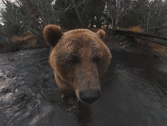 Face-to-face with a grizzly in 360 degrees