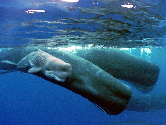 A sperm whale calf swims next to its mother and a pod of sperm whales, about 4 miles off the coast of the Agat Marina in Guam.