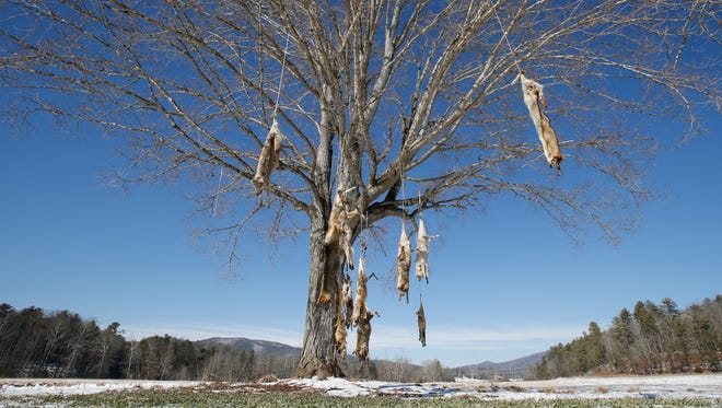 Coyote carcasses hang from branches on a tree in the middle of a field in West Augusta, Va., Thursday, Feb. 8, 2018. Prowling coyotes have long been a routine nuisance in rural Virginia. They've gotten so prevalent that some residents are stringing up carcasses from tree branches at farms and ranches. State wildlife biologist Mark Fies says there are no population control benefits to stringing up dead coyotes.