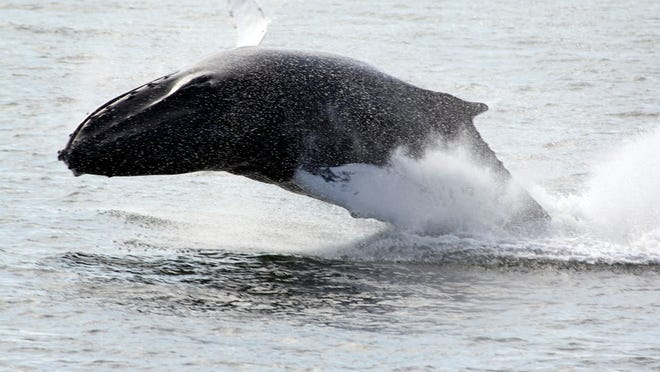 The whales that Center passengers most often spot are Humpback whales since they are the most active breachers and create a large splash when they do so.