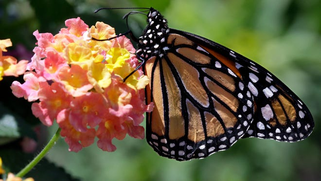 A monarch butterfly rests on a flower Friday, May 30, 2014, at the Butterfly Gardens of Wisconsin in the Town of Center, Wisconsin.