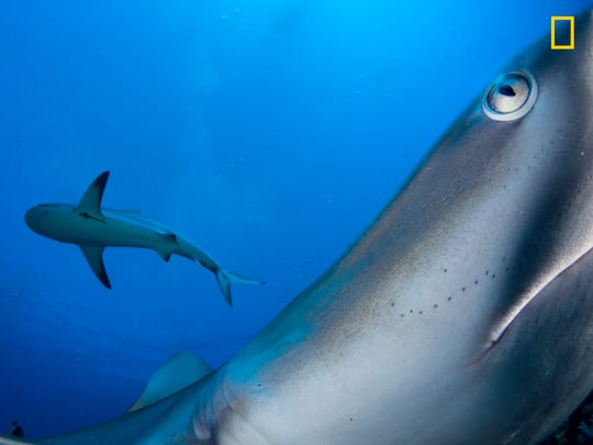 Typically a shy species, a Caribbean reef shark investigates