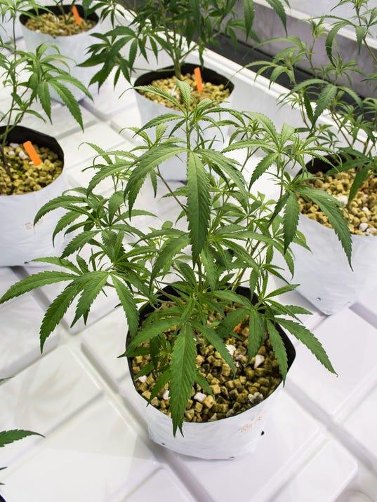 636200346511255721-Marijuana-12.jpg